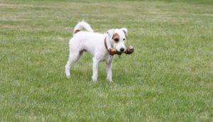 Warum Hund Knochen vergraben