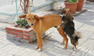 Paarung der Hunde