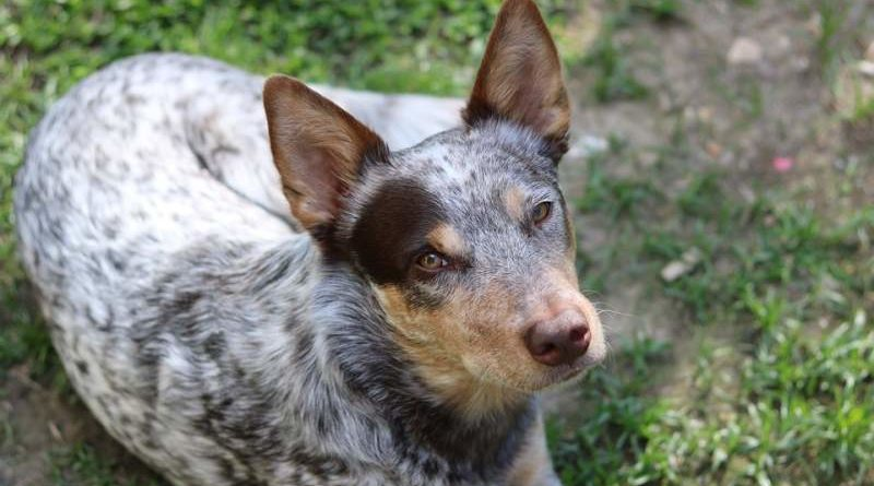 Australien Stumpy Tail Cattle Dog
