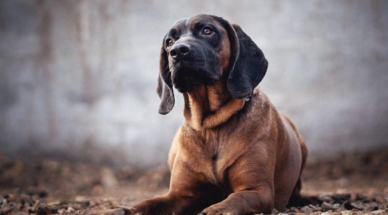 Bayerische Gebirgsschweißhunde