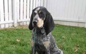 Bluetick Coonhound