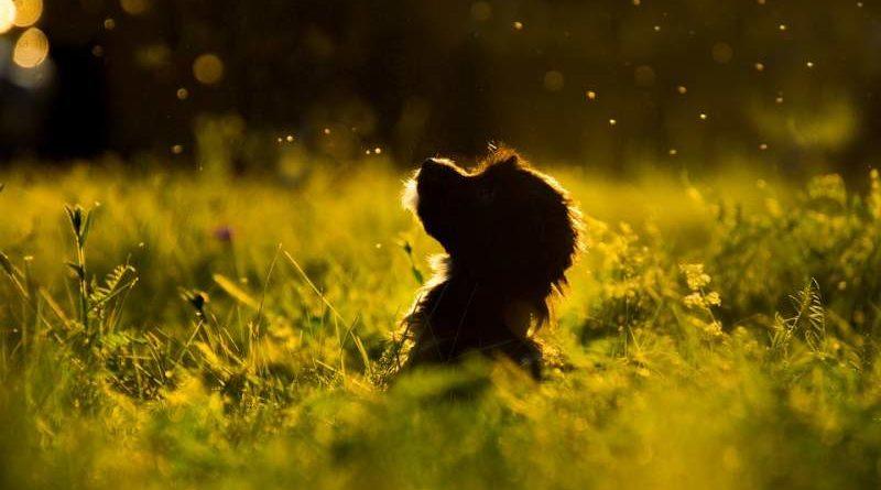 Bosnischer Rauhaariger Laufhund