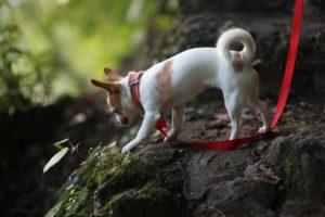 Chihuahua kurzhaarig