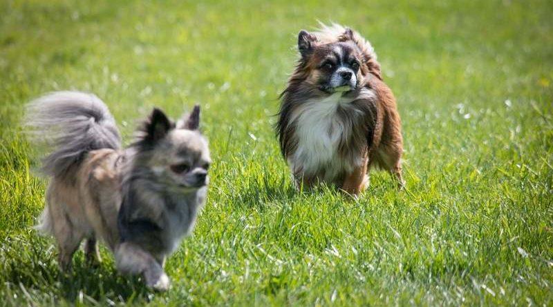 Chihuahua langhaarig